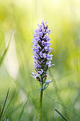 Heath spotted-orchid (Dactylorhiza maculata), Forlet peatland, Alsace, France