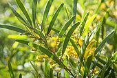 Gaiac flowers (Acacia spirorbis), Ténia islet marine reserve. New Caledonia.
