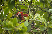 Scarlet Macaw (Ara macao) eating a fruit in a tree, Costa Rica