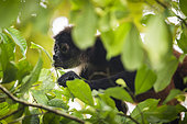 Black-handed spider monkey (Ateles geoffroyi) eating, Osa peninsula, Costa Rica