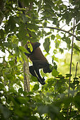 Black-handed spider monkey (Ateles geoffroyi) suspended by the tail looking for food, Osa peninsula, Costa Rica