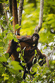 Baby Black-handed spider monkey (Ateles geoffroyi) on his mother back, Osa peninsula, Costa Rica