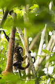 Baby Black-handed spider monkey (Ateles geoffroyi) in the branches, Osa peninsula, Costa Rica