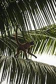 Black-handed spider monkey (Ateles geoffroyi) walking on a palm, Osa peninsula, Costa Rica