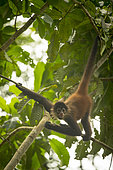 Young Black-handed spider monkey (Ateles geoffroyi) suspended in a tree, Osa peninsula, Costa Rica