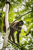 Black-handed spider monkey (Ateles geoffroyi) female with with a hypertrophied clitoris, Osa peninsula, Costa Rica