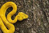 Eyelash Viper on a tree trunk (Bothriechis schlegelii), Cahuita national park, Costa Rica