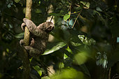Young Brown-throated sloth (Bradypus variegatus) in a tree, Manuel Antonio national park, Costa Rica