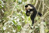 White-faced Capuchin tapping a fruit on a branch to open it (Cebus capucinus), Cahuita national park, Costa rica