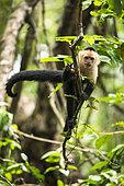 White-faced Capuchin walking on a branch (Cebus capucinus), Cahuita national park, Costa Rica