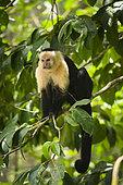 White-faced Capuchin (Cebus capucinus) on a branch, Cahuita national park, Costa Rica