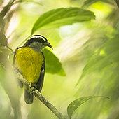 Bananaquit (Coereba flaveola) perched on branch, Osa Peninsula, Costa Rica