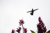 Hummingbird in flight - Tenorio Volcano National Park - Costa Rica