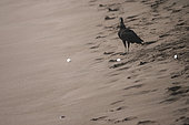 Black Vulture (Coragyps atratus) plunding turtle eggs on the beach- Tortuguero National Park - Costa Rica
