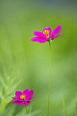 Flower of Cosmos (Cosmos sp), Costa Rica