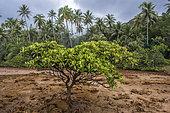 Oriental mangrove (Bruguiera gymnorrhiza) at low tide, New Caledonia.