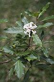 Pittosporum (Pittosporum cherrieri) flowers on the tree, Endemic species of dry forest, New Caledonia.