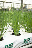 Organic soilless culture of chives in New Caledonia.