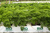 Organic soilless culture of parsley in New Caledonia.