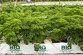 Culture biologique hors-sol de persil en Nouvelle-Calédonie.