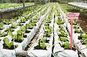 Organic soilless culture of salad culture in New Caledonia.