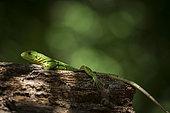 Young black spiny-tail iguana (Ctenosaura similis) on a tree trunk, Tenorio Volcano National Park, Costa Rica