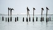 Magnificent Frigatebird (Fregata magnificens) standing on poles by the sea, Cahuita national park, Costa rica