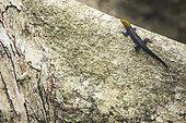 Yellow-head gecko male (Gonatodes albogularis) on a tree, Cahuita national park, Costa Rica