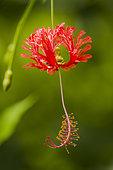 Red flower of Fringed Rosemallow (Hibiscus schizopetalus), Costa Rica
