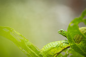 Young green iguana (Iguana iguana) camouflaged in green leaves - Costa Rica - Corcovado national park