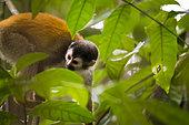 Central American Squirrel Monkey (Saimiri oerstedii), Manuel Antonio national park, Costa Rica