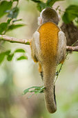 Central American Squirrel Monkey seen from behind (Saimiri oerstedii), Manuel Antonio national park, Costa Rica
