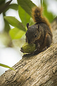 Red-tailed squirrel (Sciurus granatensis) eating a fruit on a tree, Cahuita national park, Costa rica