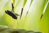 Purple Lubber Grasshopper (Taeniopoda reticulata), Cahuita national park, Costa Rica