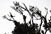 Keel-billed Toucan on a branch (Ramphastos sulfuratus), Costa Rica