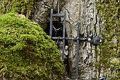Chêne à Vierge, loupe, statue, forêt domaniale, Chaux, Jura, France