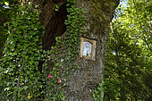 The Blessed Oak, oak (Quercus robur) with statue of the Virgin in his trunk, forest, Magny-les-Jussey, Haute-Saone, France