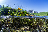 Yellow marsh marigold (Caltha palustris), Mid-air view mid-water in the climb of the Col du Tourmalet, Hautes-Pyrénées, France