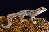 The Pacific gecko (Dactylocnemis pacificus) is a gecko endemic to the North Island of New Zealand. They are a nocturnal, arboreal and terrestrial species and are found in a variety of habitats including forest, scrub, clay banks, rocky bluffs and outcrops.