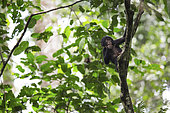 Bonobo (Pan paniscus) Bonobo population revealed to the international scientific community by Mr Bokika in 2001. North of Bandundu province. Democratic republic of congo (DRC)