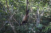 Humboldt's Woolly Monkey (Lagothrix logotricha) IKamapérou sanctuary, Pacaya Samiria NP, Amazon, Peru
