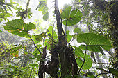 Philodendron, cloud forest around 1000 m elevation around Tarapoto, Amazon, Peru