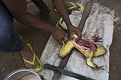 Goliath frog (Conraua goliath) Hunted for food. Bush meat. Cameroon
