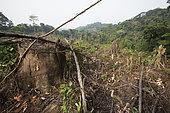 Coupe à blanc de la forêt pour plantation de palmiers à huile, Région de Nkongsamba, Cameroun