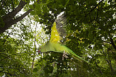 Rose-ringed Parakeet (Psittacula krameri) introduced species, Paris surrounding, France