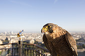 Peregrine Falcon (Falco peregrinus) around Eiffel tower, Paris, France