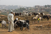 Cattle market Cows and bull sold in Yaounde, Cameroon