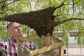 Honey Bee (Apis mellifera) in the Galliera museum garden. Swarm. Nicolas Géant, beekeeper in Paris, France