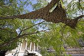 Honey Bee (Apis mellifera) in the Galliera museum garden, Swarm. Paris, France