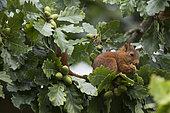 Eurasian Red Squirrel (Sciurus vulgaris) eating acorn, Paris surrounding, France